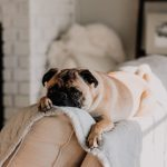 Pug dog laying on the back of a couch